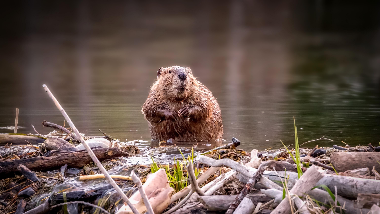 Beaver in China, courtesy CGTN