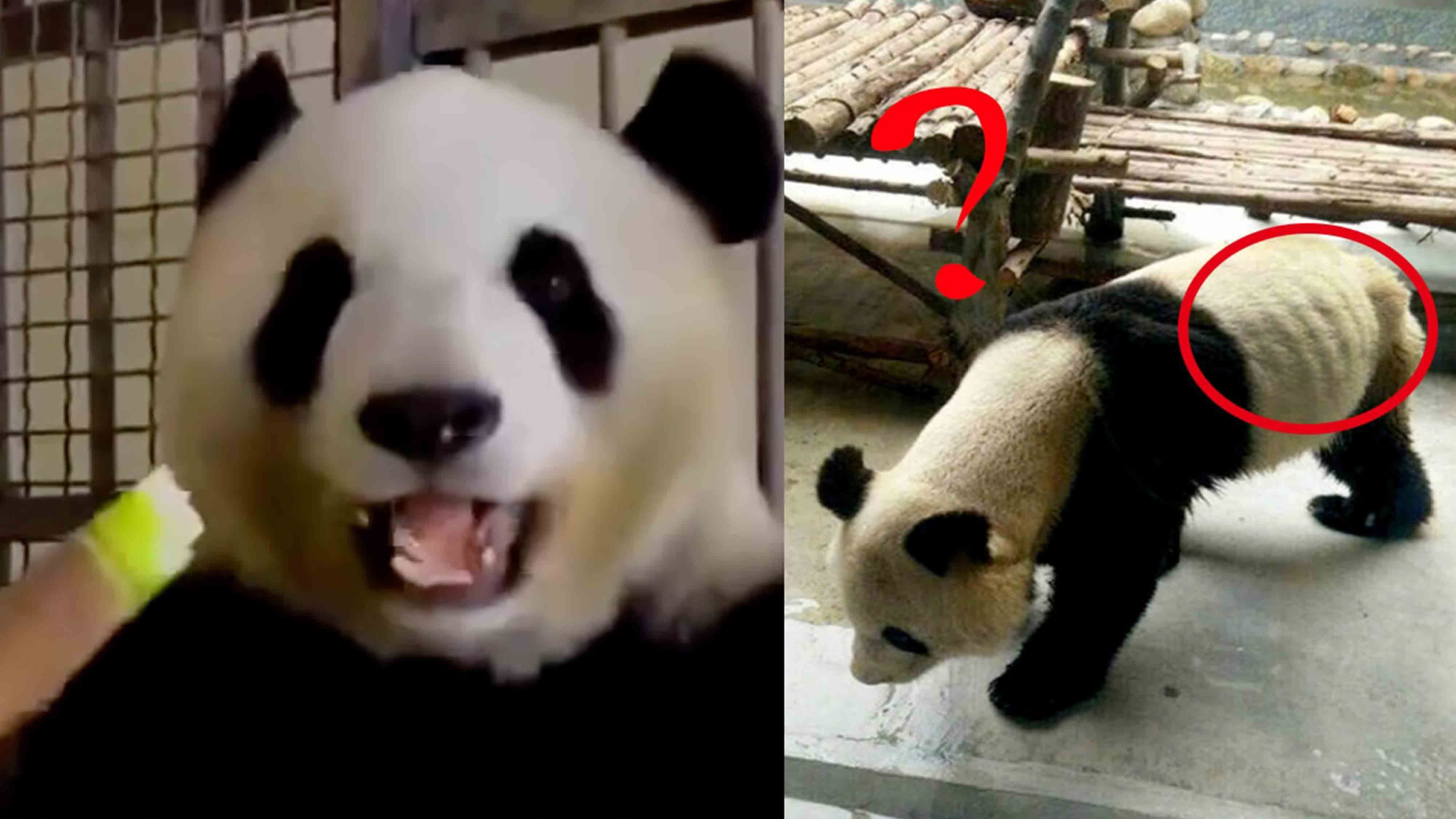 Super skinny panda's ribs can be seen protruding! Netizens ...