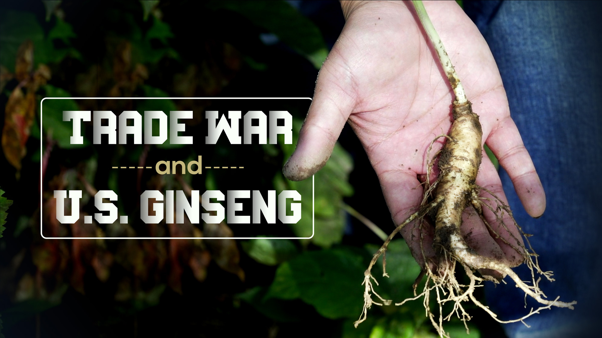 The uncertain fate of American ginseng | Hsu's Ginseng News