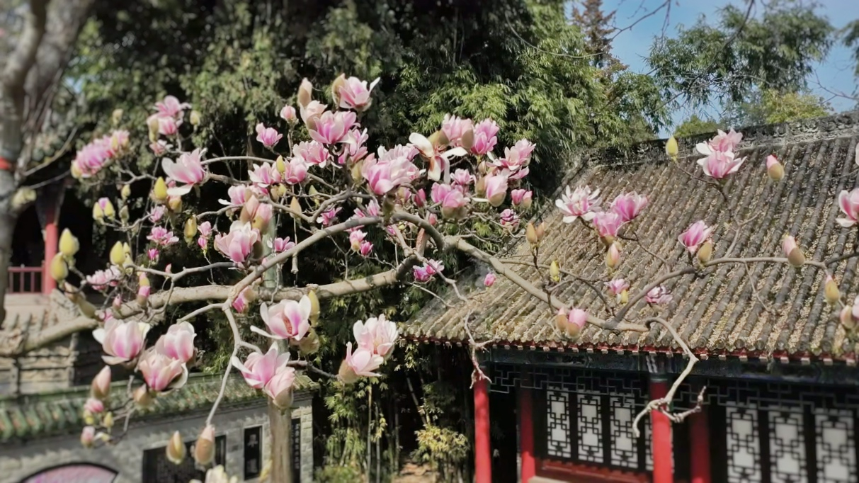 China S Oldest Saucer Magnolia Tree Is In Full Bloom Cgtn