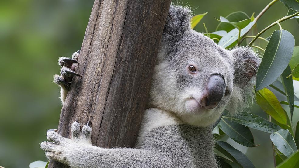 Public And Hospital Fight To Save Australia Koalas Cgtn