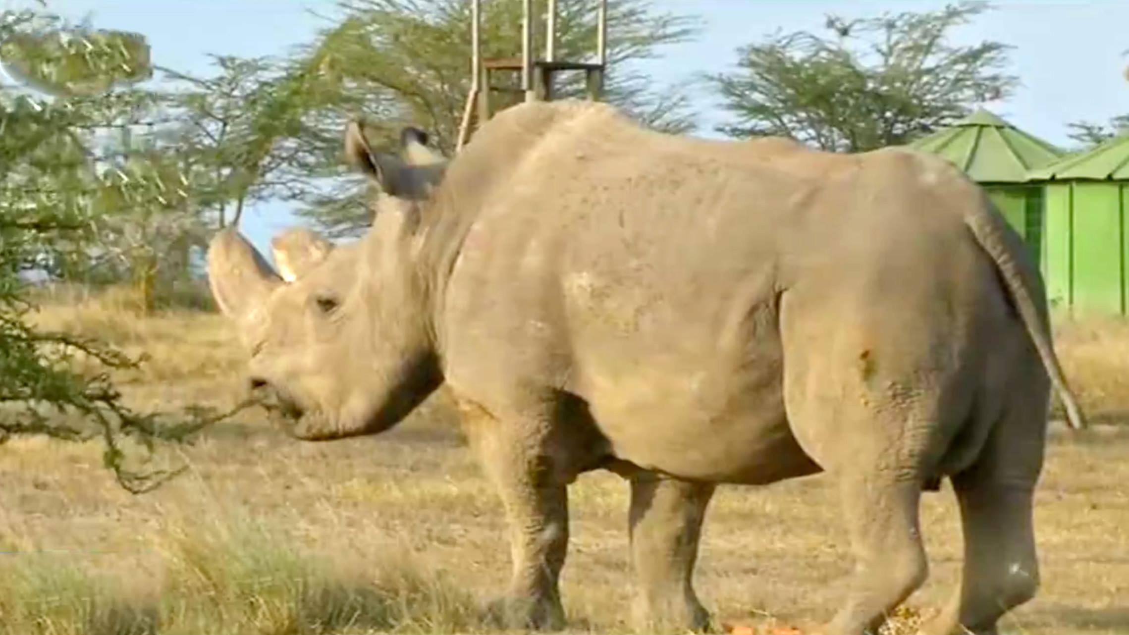 World's last male northern white rhino dies - CGTN