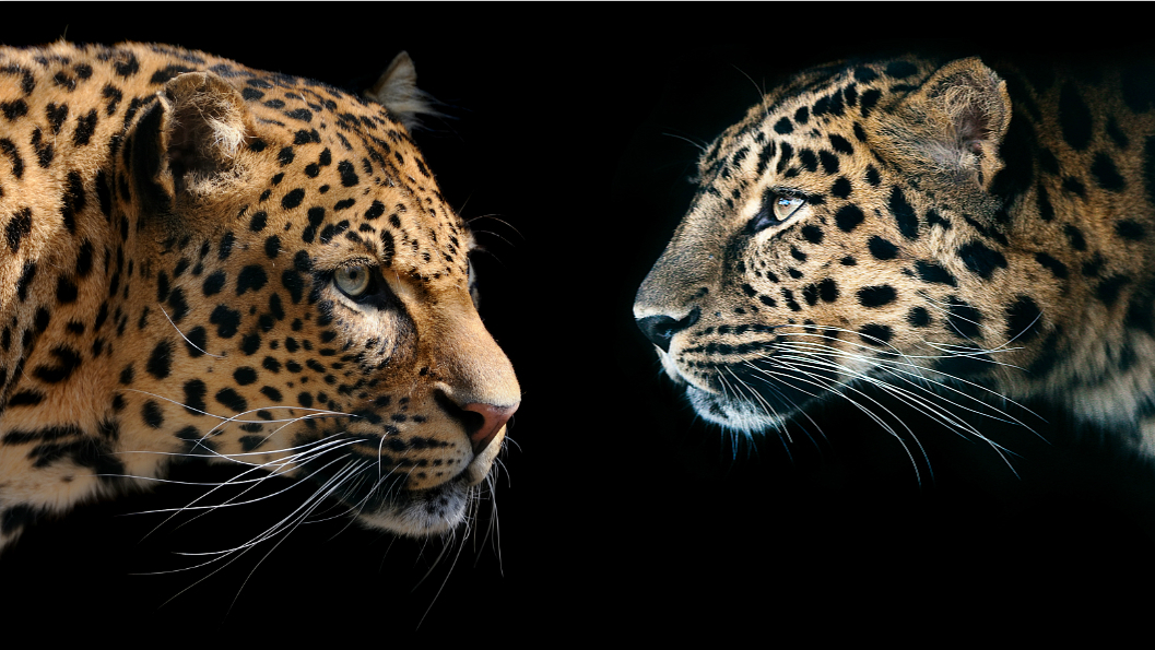 Can you tell the difference between a leopard and a ...