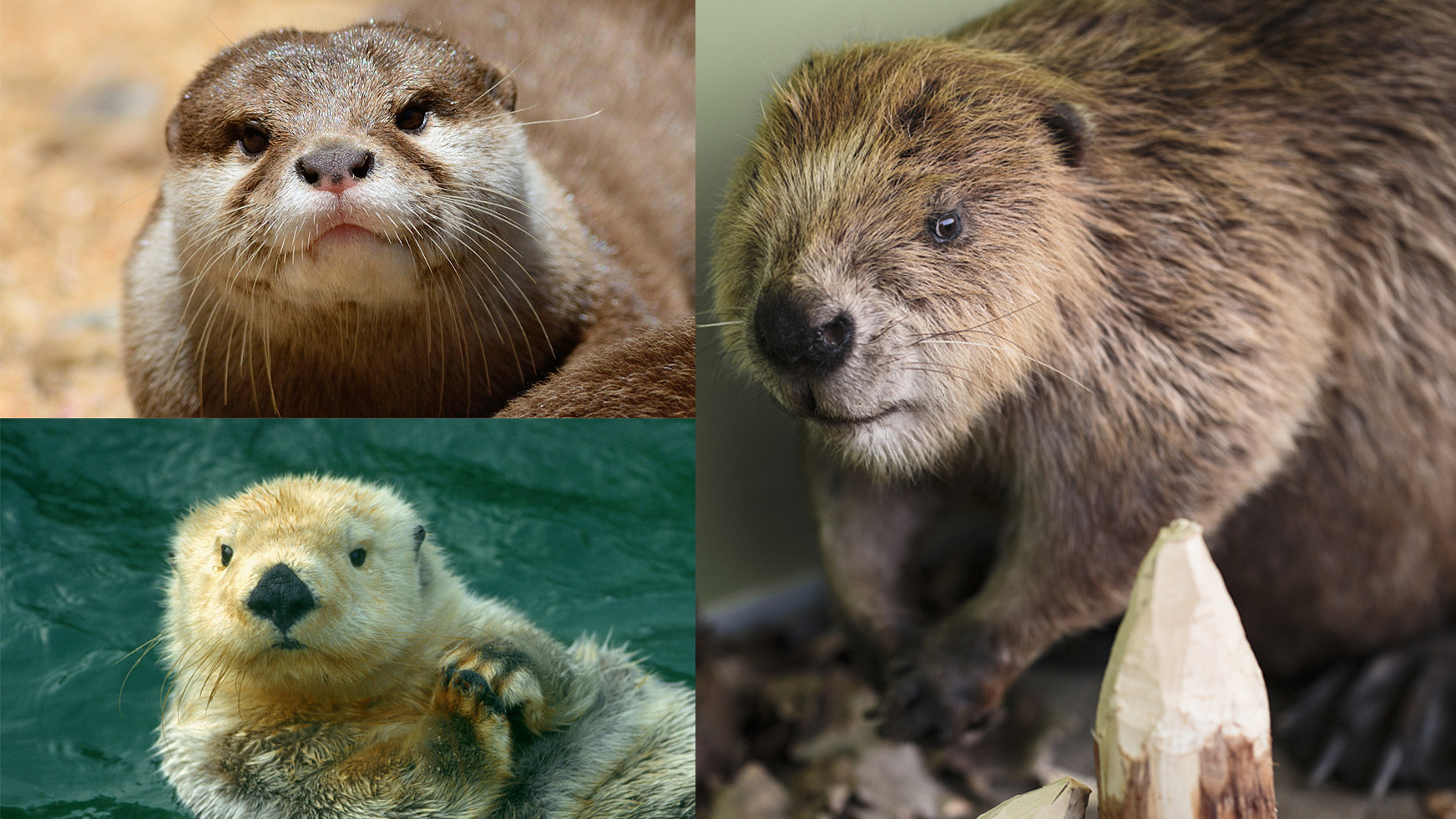 Spot the difference: Asian small-clawed otter, sea otter and beaver - CGTN